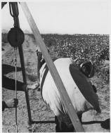 picking cotton in Arizona circa 1940